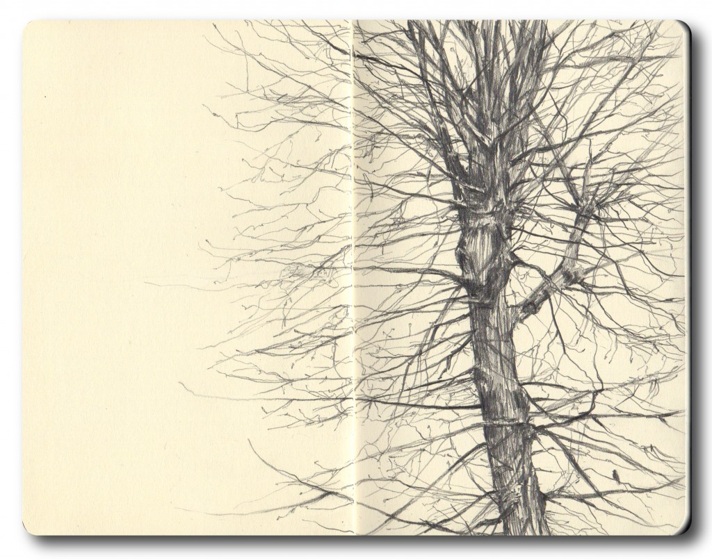St Georges Lime tree - B pencil